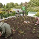 en dan 25 plantjes per m² in de grond steken.