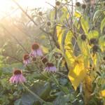 echinacea, pompen en olijfkomkommer