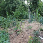 bult beplant met polentamaïs, palmkool en tomatillo