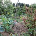 bult beplant met spinaziezuring (in bloei) en kolen