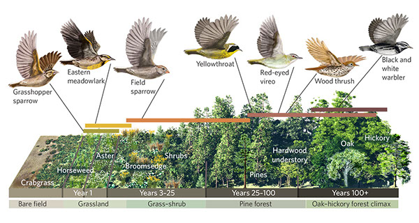 Birds Ecological Niches in Forest Succession
